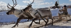 The NAO will be a new law on reindeer