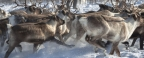 The university of the Arctic will prepare the program for reindeer breeders of Russia and Norway